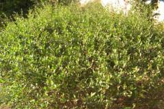 henna-plant-lawsonia-inermis