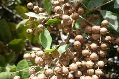henna-seeds